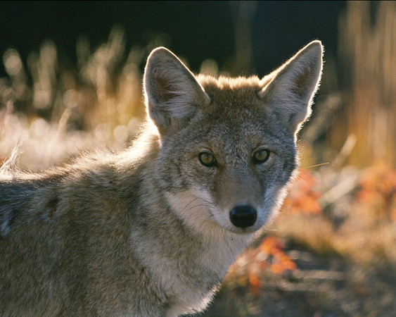 A coyote in Yellowstone
