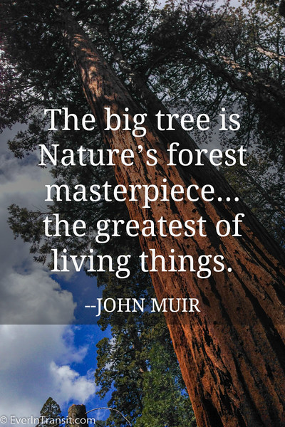 "On Giant Sequoias - ""The big tree is Nature's forest masterpiece"" - John Muir quotes"