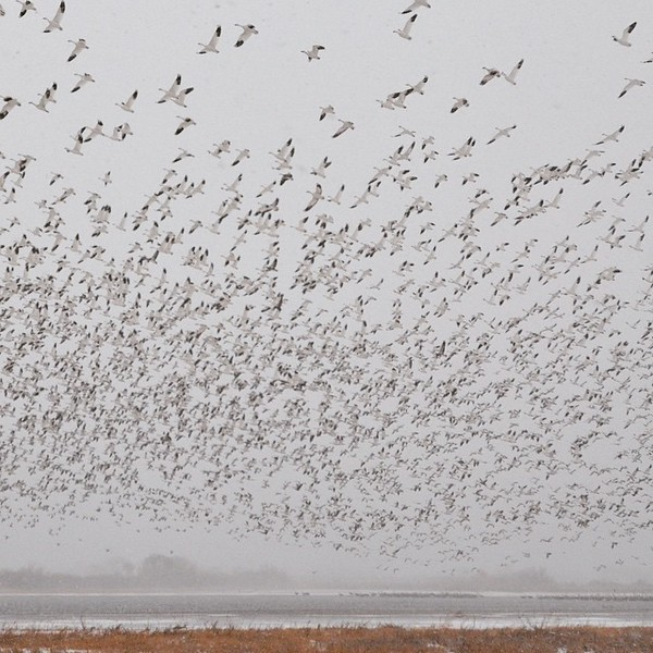 More than 7,000 snow geese take flight, just after sunrise. The roar of wings flapping was amazing! via Instagram http://bit.ly/1I61fky